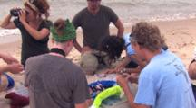 Research Team Setting Up Piping Plover Tagging Operation, One Member Watching For Parents