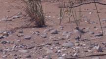 Piping Plover Chick Running On Beach