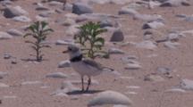 Adult Piping Plover, Standing
