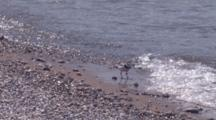 Adult Piping Plover Standing In Surf, Turns, Stands