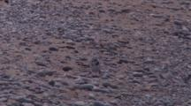 Adult Piping Plover, Chick Comes, Crawls Beneath