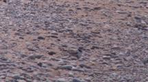 Adult Piping Plover With Chick Beneath