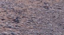 Adult Piping Plover On Ground, One Chick Crawl Beneath, Other Preens, Other Surf Watches