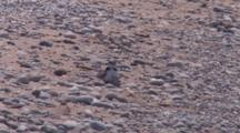 Adult Piping Plover Sitting On One Chick, Another Preening