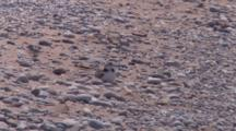 Adult Piping Plover Sitting On Chicks, One Runs Off