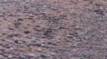 Adult Piping Plover On Ground, Two Chicks Come Running To Crawl Beneath Parent