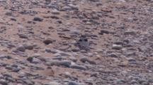 Piping Plover Parent With Chick Beside