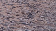 Adult Piping Plover And Chick