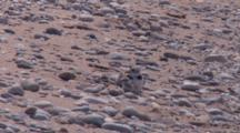 Adult Piping Plover With Two Chicks, Resting, One Gets Up, Runs