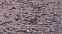Adult Piping Plover With Chicks, Adult Calls