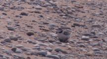 Adult Piping Plover On Chicks, Adult Leaves, One Chick Races Off, Two Stay In Nest
