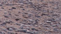Piping Plover Chicks Resting, Adult Comes By, Chicks Race Off Toward Parent, One Flapping Wings
