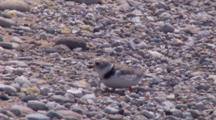 Adult Piping Plover Sitting, Calling To Chicks, Exits