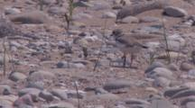 Adult Piping Plover, Chicks Runs Past, Both Exit Opposite Sides Of Frame