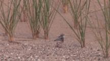 Newly Banded Piping Plover Chick, Turns, Preens