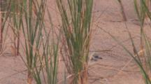 Piping Plover Chick Ducking Beneath Grass On Beach