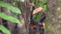 Anole Flashes Red Throat Patch, Dewlap, To Another Off Frame
