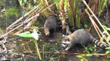 Young Raccoons Searching For Food In Wetlands