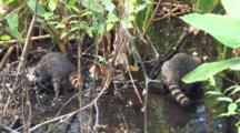 Two Young Raccoons Searching For Prey In Florida Wetland