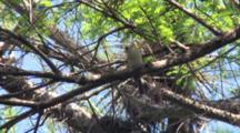 Tufted Titmouse In Cypress Tree, Singing