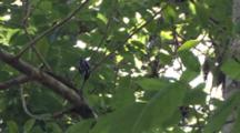 Black And White Warbler, Hops Along Branch, Exits
