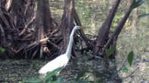 Great Egret Fishing In Swamp, Zeroing In On Prey
