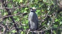 White Crowned Night Heron, Resting On Branch, Turns Head To Side