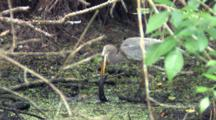 Great Blue Heron With Large Prey, Making Sure Prey Is Dead, Backs Up