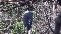Black Crowned Night Heron, Back To Camera