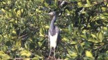 Tri-Colored Heron On Branch Overhanging Water, Florida Everglades