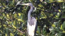 Tri Colored Heron On Branch, Exits