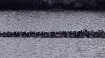 Coots Banded Together For Safety, Florida Everglades National Park