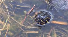 Large Painted Turtle Feeding Underwater, Moves Plants Aside, Feeds On Algae, Lifts Head Out Of Water