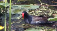 Common Moorhen, Feeding In Shallow Water, Eating Water Plants