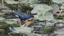 Purple Gallinule Feeding, Walks On Lily Pads, Turns Leaf Over, Fees On Snails Attacehd To Leaf Stems
