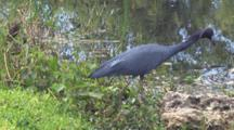 Little Blue Heron Hunting, Looking Into Shallow Water, Weaving Head, Walks Along Shoreline