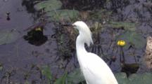 Snowy Egret Standing, Looking Out Over Shallow Water, Turns, Exits