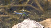Emerald Darter Dragonfly Sitting On Rock Near Water, Watching Prey Pass By Overhead