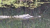 Alligator Stalking Bird On Lily Pads, Reflection Of Bird Moves Off Above Alligator