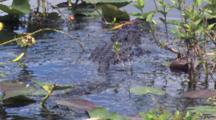 Alligator Swimming Through Shallow Water, Lily Pads, Exits, Dragging Flotsam