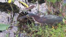 Green Heron Hunting, Stalking Fish In Swamp