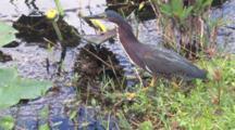 Green Heron Stalking Prey, Strikes, Exits