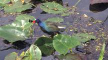 Purple Gallinule Using Large Yellow Feet To Walk On Lily Pads, Hunting Snails In Shallow Water Of Swamp