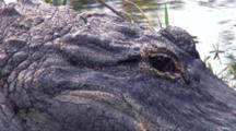 Alligator Lying Beside Water, Close Up Face, Eye