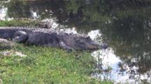 Large Alligator Lying On Bank Of Stream, Closes Eyes, Rests