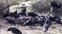 Flock Of Squabbling Black Vultures, Feeding On Carcass Of Large Alligator, Everglades National Park