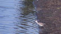 Willet With Wounded Leg, Standing Near Water Edge, Feeding