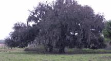 Evergreen Oak, Large Live Oak Tree