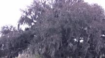 Cu Evergreen Oak, Zoom To Large Live Oak Tree