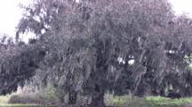 Evergreen Oak, Large Live Oak Tree, Branches Blowing In Light Breeze